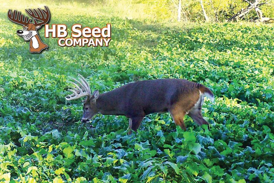 Big buck walking through an HB Seed food plot